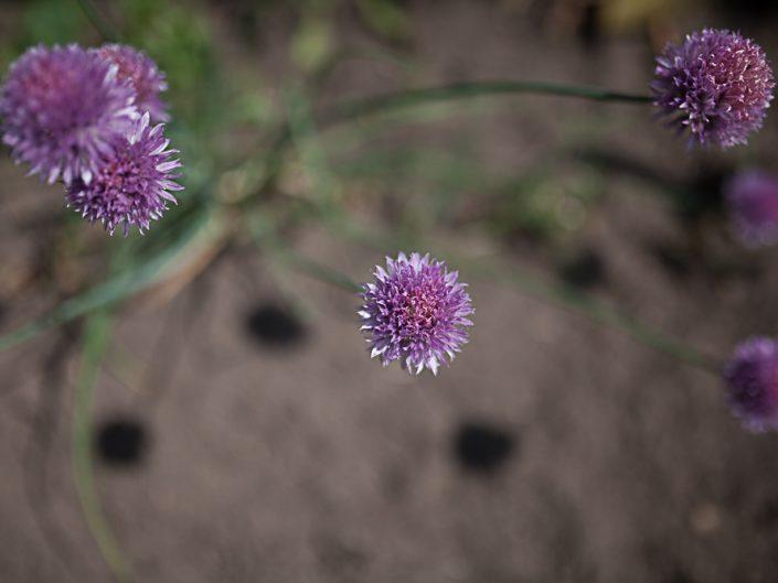 Blüten- Draufsicht